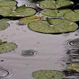 raindrops-on-pond_MG_8503-copy.jpg