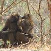 2011-02-14 13-59 iskajace sie malpy.JPG