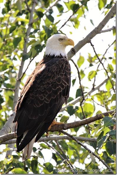 eagle33
