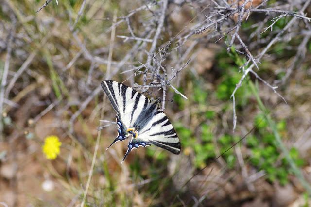 Iphiclides podalirius (L., 1758). Plateau de Coupon (511 m), Viens (Vaucluse), 12 mai 2014. Photo : J.-M. Gayman