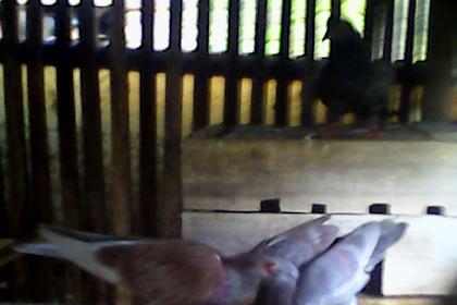 Foto Burung Merpati Memberi Makan Anaknya