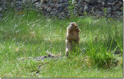 Columbian Ground Squirrels,