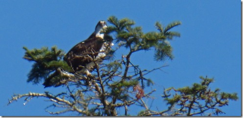 Osprey at Huntley Park