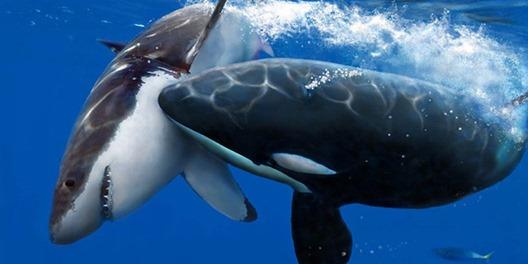 orque-attaque-tue-requin