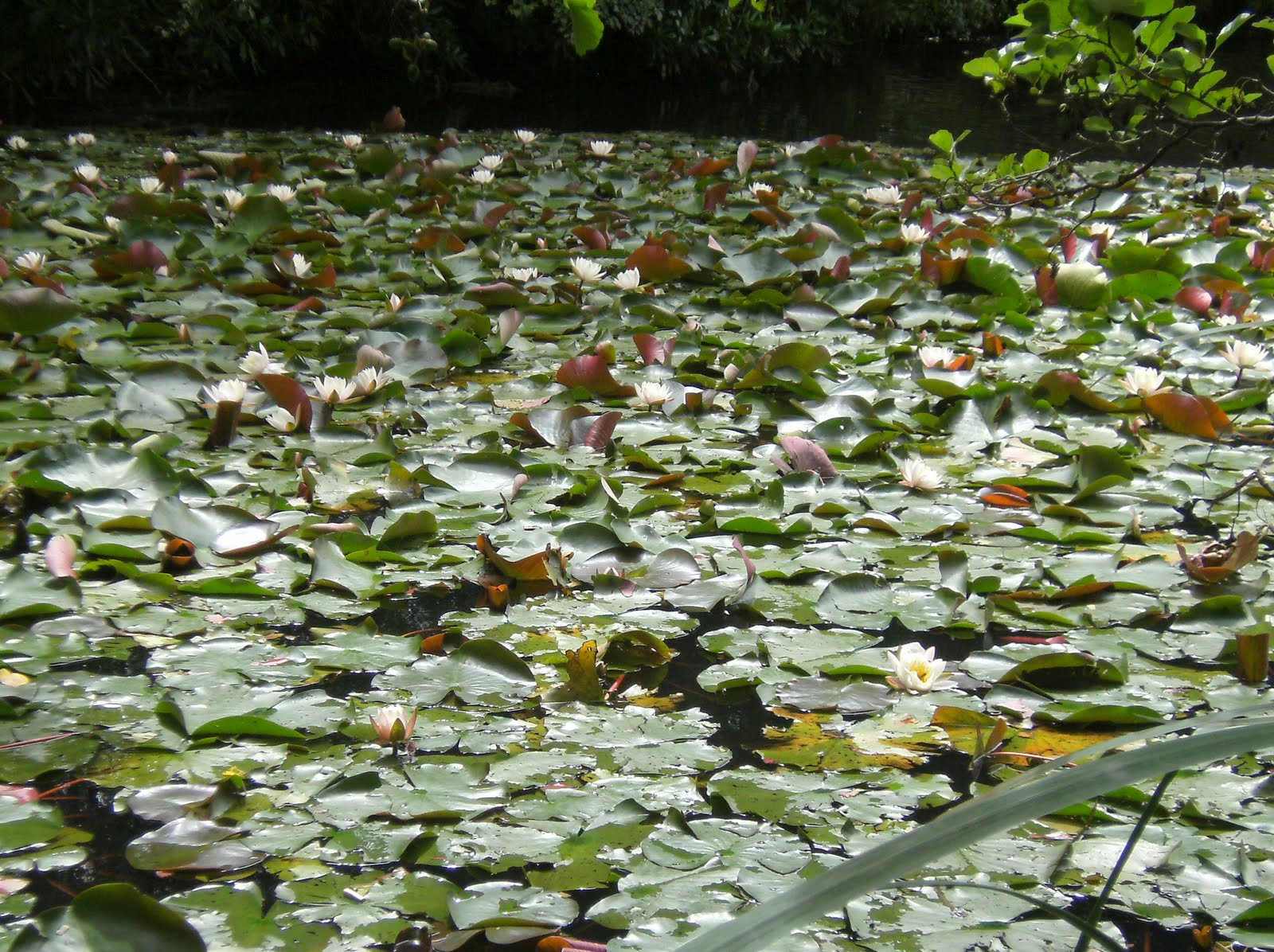 1008070001 Water lilies on Heath Pond