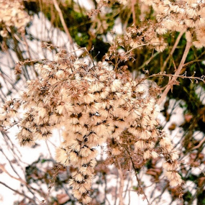 winter, hiver, creuse, Limousin, nature, France, countryside, seeds, dead flowers,