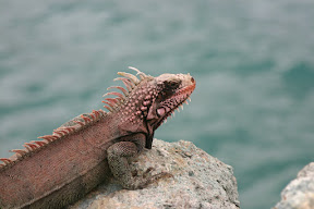 Iguana on the rocks, ready for his close up