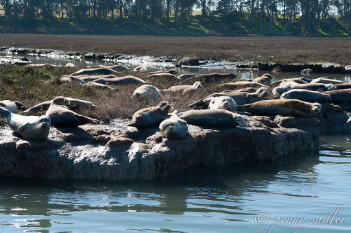 Seals seen on Elkhorn Slough Safari. From Sea Otters, Sea Lions, and California Seals, Oh My!