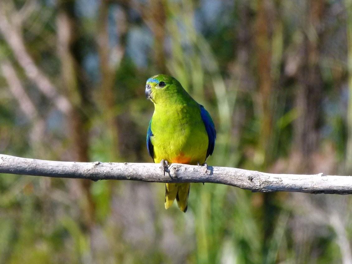 Orange-bellied Parrot (c) P Waanders.