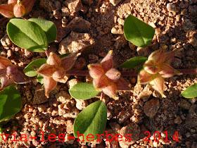 Anthyllis a feuilles par quatre.jpg