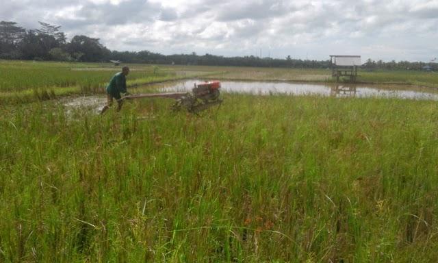 Percepat Tanam, Petani PPU Olah Tanah Menggunakan Alsintan