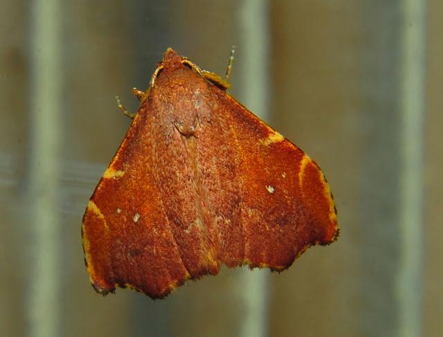 Noctuidae : Catocalinae : Axiocteta sp. ? Umina Beach (N. S. W., Australie), 21 octobre 2011. Photo : Barbara Kedzierski
