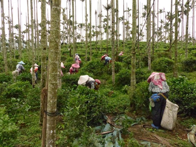 Puli, Nantou county, cueillette de thé - P1050556.JPG