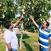 सिमुलतला का अनोखे स्वाद वाला आम बिहार-झारखंड में है मशहूर