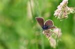Engblåfugl, Cyaniris semiargus, hun.jpg