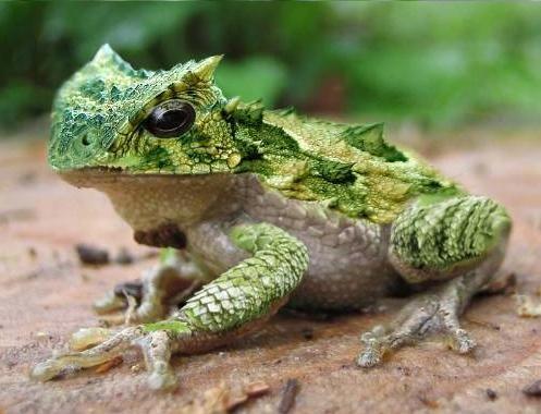 Pet frogs species - photo#12