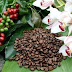 Buy Kona Coffee Seeds to Grow Your Own Coffee