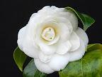 白色 千重咲き 中輪