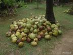 Ko Lanta - aus Sicherheitsgründen geerntete Kokosnüsse