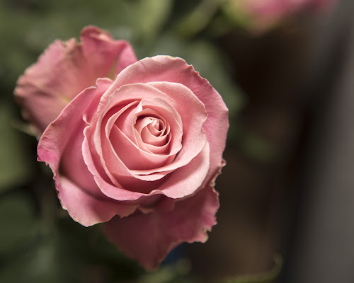 roses by Jody Jedlicka - Flowers Single Flower ( single, roses, botanicals, flowers, florist,  )