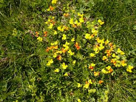 Lotier Lotus alpinus Fabacees 2.JPG