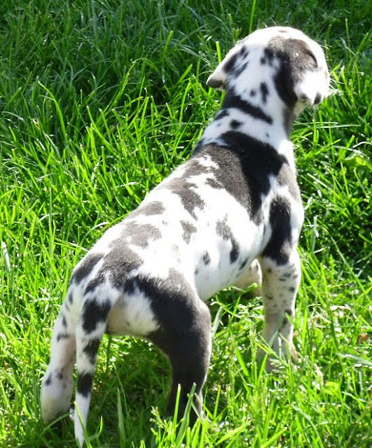 Gretta's harlequin girl @ 4 weeks/available