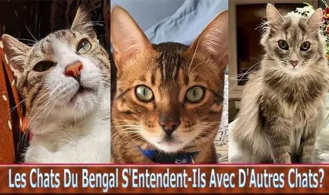 Les Chats Du Bengal
