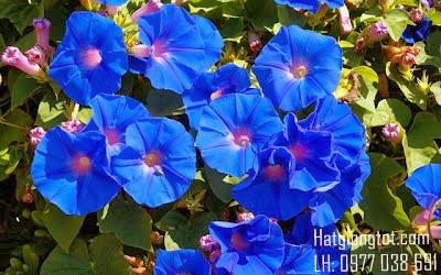 hoa bìm bịp xanh