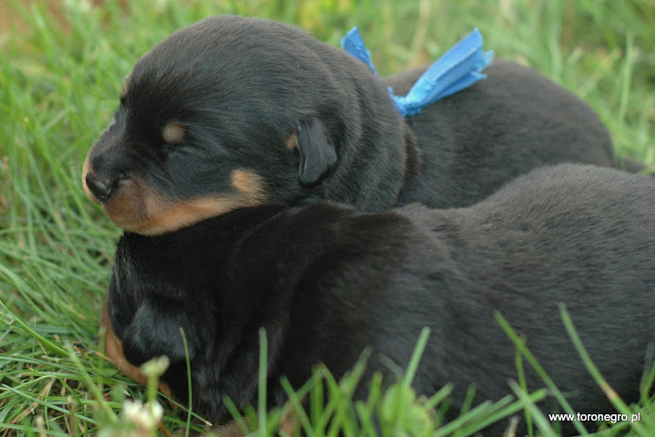 rottweilery toro negro małe