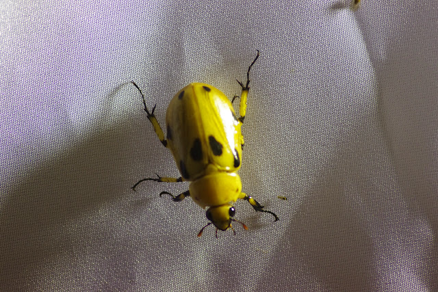 Dynastinae : Ancognatha vulgaris (Arrow, 1911). Mount Totumas, 1900 m (Chiriquí, Panamá), 22 octobre 2014. Photo : J.-M. Gayman