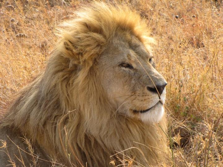 Re leone di vlao