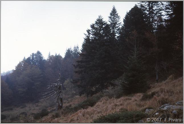 Abeti bianchi dell'Alpe Cusogna (Val Sessera -Biella)