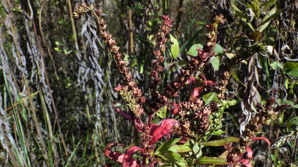 紅葉期の果序