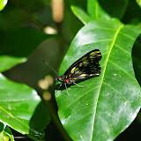 Catasticta ctemene actinotis A. Butler, 1872. Au pied de la Reserva Forestal De Fortuna. Hornito, 1300 m (Chiriquí, Panamá), 28 octobre 2014. Photo : J.-M. Gayman