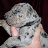 Giambattista family's blue merle girl @ 2 weeks