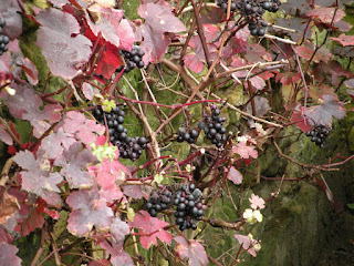 Виноград на стене