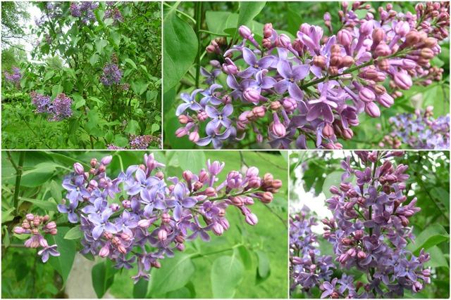 2016-05-23 lilacs