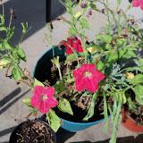 Gardening 2012 - 115_2876.JPG