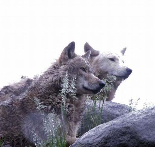オオカミ 旭山動物園にて