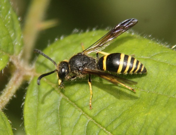 wasp Ancistroceru sp poss oviventris-2