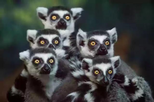 extinct in 2021-red faced lemur