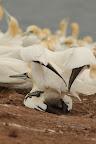 LES CHOSES SÉRIEUSES? Accouplement de fous de bassan : le mâle piétine de ses pattes palmées la femelles qui répond alors en levant sa queue