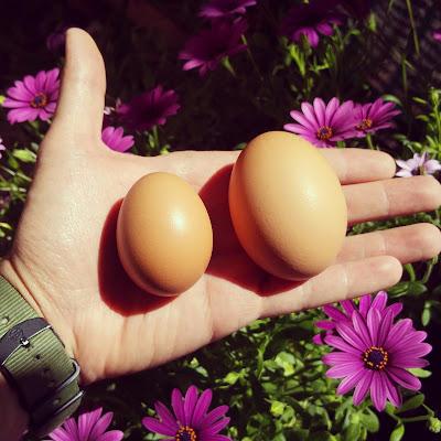 Hen Elixir - Herbs for Hens