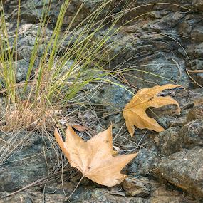 Maple Leaf  by David Shearer - Landscapes Forests (  )