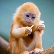 сонник обезьяна