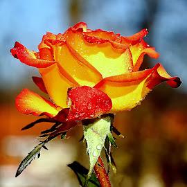 Rose n00103 by Gérard CHATENET - Flowers Single Flower