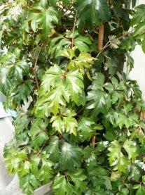 Cisus rombolistny Cissus rhombifolia Ellen danica