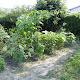 2010年7月26日の家庭菜園の様子
