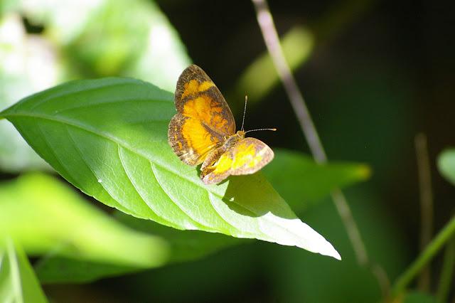 Tegosa claudina ESCHSCHOLTZ, 1821. Saül (Guyane), 2 décembre 2011. Photo : J.-M. Gayman