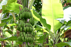 Banana tree in Grenada